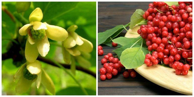 Цветы и плоды лимонника
