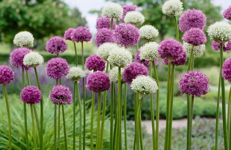 Садовый лук