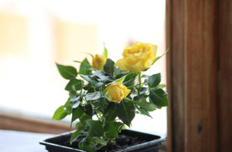 Как размножить розу в домашних условиях