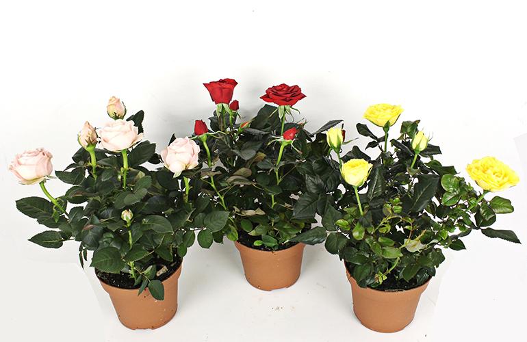 Как размножить домашнюю розу