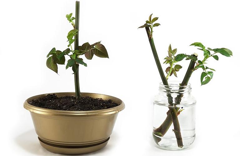 Размножение комнатной розы черенками в домашних условиях