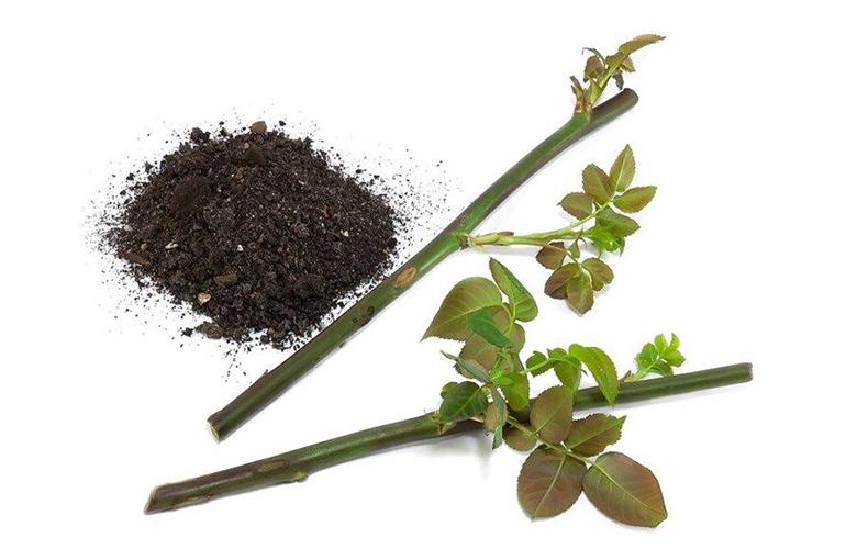 Черенкование домашней розы