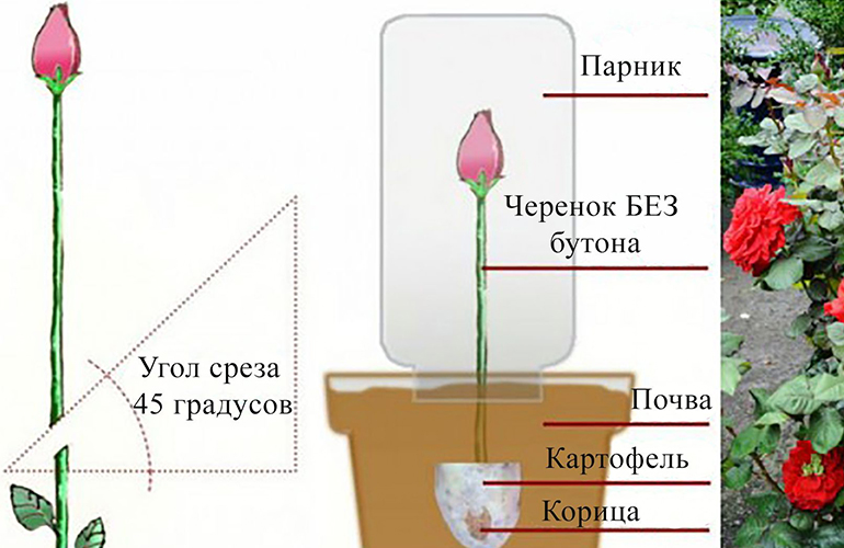 Укоренение домашней розы