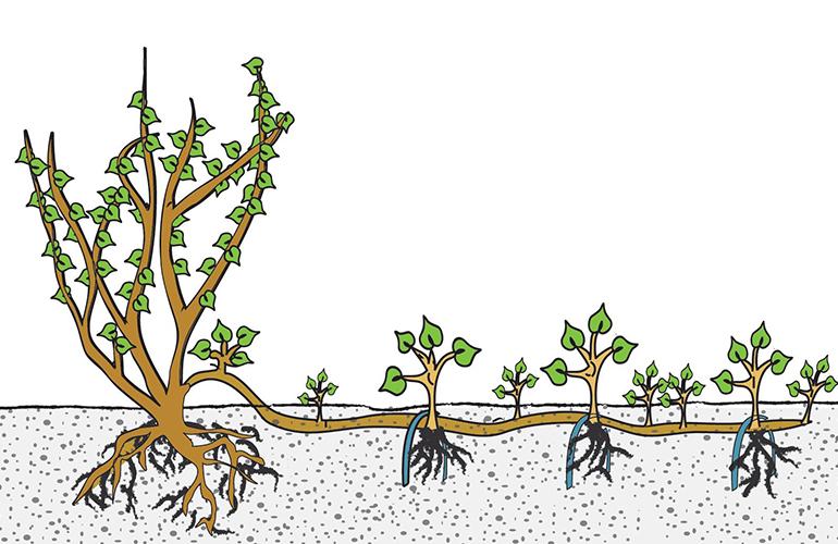 Размножение домашней розы отводками